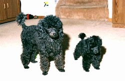 Two_poodles